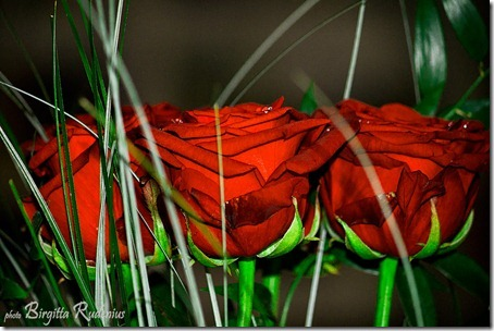 roses_20121102