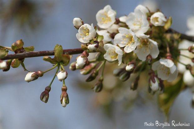 Cherry Körsbär