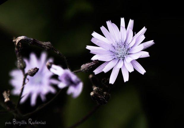 blom_20130702_cikoria