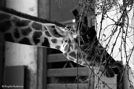 zoo_20130812_giraff