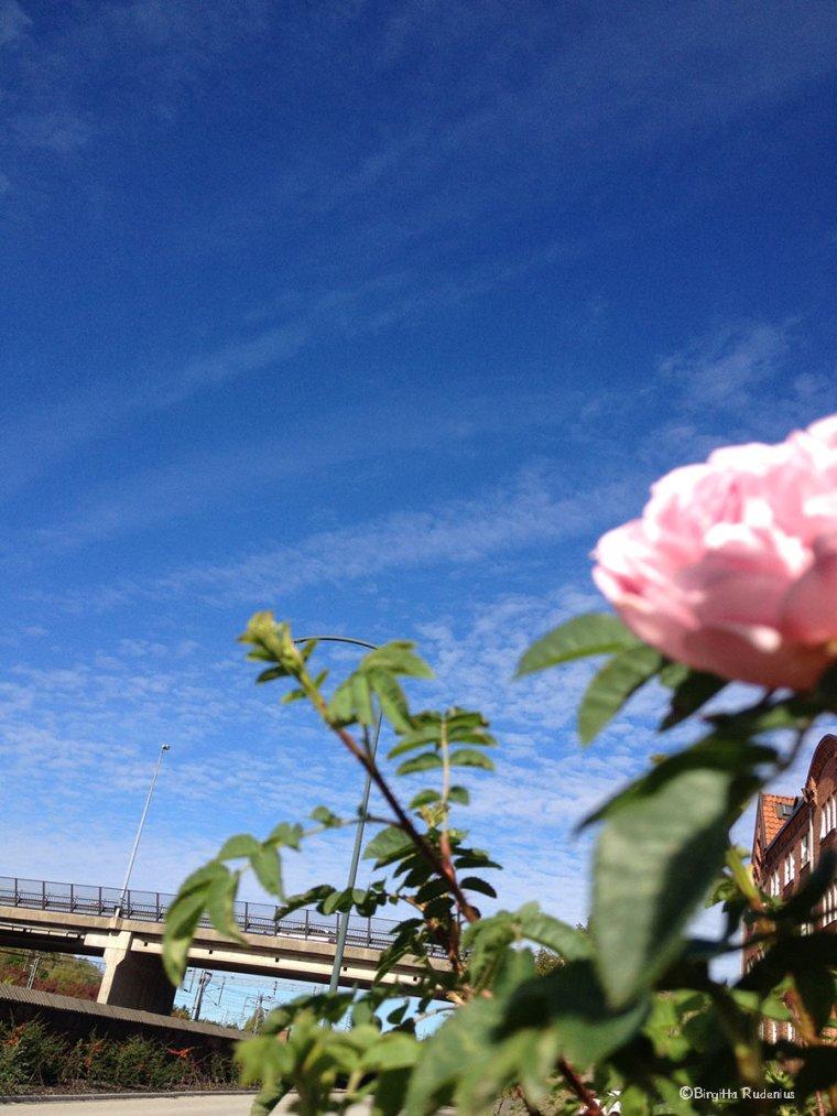 flower_20130924_rose
