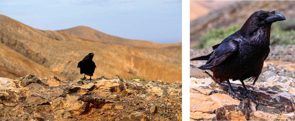 Fuerteventura Raven