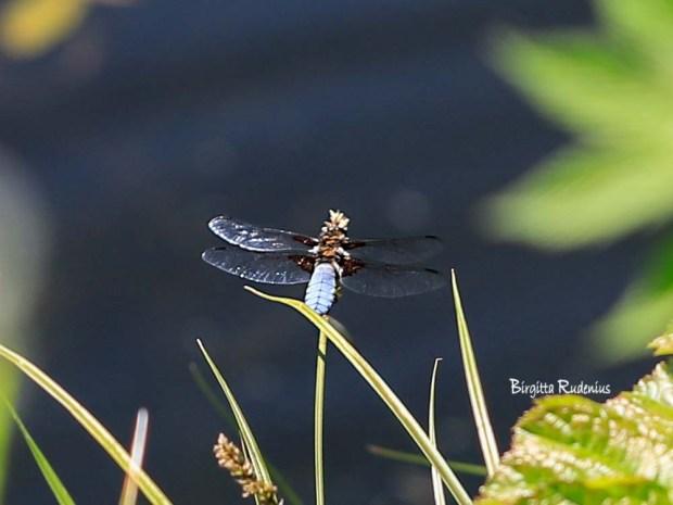 Photo Dragonfly @ Birgitta Rudenius
